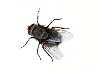 flies infestation afederal exterminating brooklyn nyc