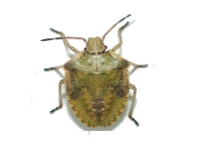stink bugs infestation afederal exterminating brooklyn nyc